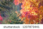 CLOSE UP, DOF: Detailed view of pine tree surrounded by other trees changing their colors on a fresh autumn morning in the countryside of New Hampshire. Picturesque view of an idyllic forest in fall.