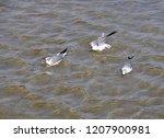 Three Franklin\'s Gulls In...