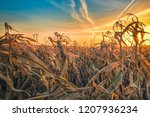 close up dry corn field against ... | Shutterstock . vector #1207936234