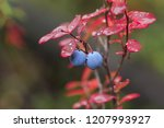 two ripe great bilberry on a...   Shutterstock . vector #1207993927