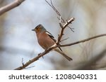 adult common chaffinch perching ... | Shutterstock . vector #1208040331