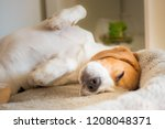 Stock photo beagle dog tired sleeps on a couch 1208048371