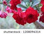 green fresh leaf   frangipani...   Shutterstock . vector #1208096314