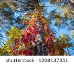 ivy entwined around a pine tree ... | Shutterstock . vector #1208137351