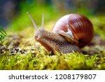 Helix Pomatia Also Roman Snail...