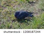 disheveled dove on grass. | Shutterstock . vector #1208187244