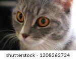 the beautiful gray cat looks... | Shutterstock . vector #1208262724