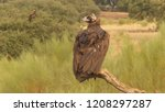 cinereous vulture  aegypius... | Shutterstock . vector #1208297287