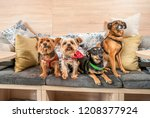 Stock photo four funny cute dogs ex abandoned homeless adopted by good people and having fun on the pillows in 1208377924