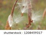 Fuzzy White Milkweed Seeds In...