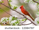 A Northern Cardinal Sits...