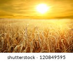 backdrop of ripening ears of... | Shutterstock . vector #120849595