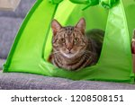 Stock photo cute marble cat camping in lime green cat tent asking for attention and trying to be the cutest pet 1208508151