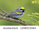 Male Golden-winged Warbler perched on tree branch.