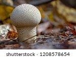 Common Puffball Mushroom  ...