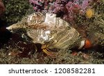 Photo of a 6-8 cm long, grunt sculpin, Rhamphocottus richardsoni, a solidly built white fish with zebra-like stripes on its boxy, inflexible body, moves by fanning its orange tail and pelvic fins.