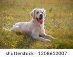 golden retriever lying down on... | Shutterstock . vector #1208652007