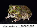 Chaco Horned Frog  Chacophrys...