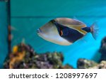 Lagoon Triggerfish Coral Reef...