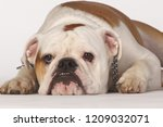 lazy dog lying on the ground ... | Shutterstock . vector #1209032071
