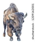 large dark bison isolated on... | Shutterstock . vector #1209162001