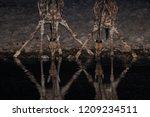 two giraffe drinking on a... | Shutterstock . vector #1209234511