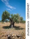 Olive Tree  Approx. 1000 Years...