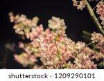 sakura taipei sakura night... | Shutterstock . vector #1209290101