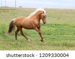 palomino morgan stallion   Shutterstock . vector #1209330004