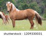 palomino morgan stallion | Shutterstock . vector #1209330031