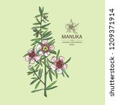 manuka  branch and flowers of... | Shutterstock .eps vector #1209371914