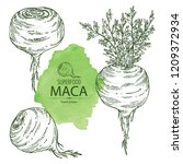 collection of maca peruvian.... | Shutterstock .eps vector #1209372934