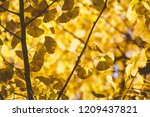 autumn yellow ginkgo leaves... | Shutterstock . vector #1209437821