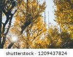 autumn yellow ginkgo leaves... | Shutterstock . vector #1209437824