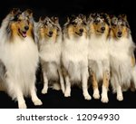 A Portrait Of 5 Rough Collie...