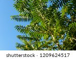 close up fern leaves on blue... | Shutterstock . vector #1209624517
