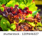 Organic Red And Green Lettuce...