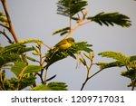 tiny  little  silvereye or wax... | Shutterstock . vector #1209717031