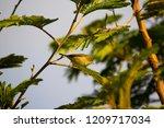 tiny  little  silvereye or wax... | Shutterstock . vector #1209717034