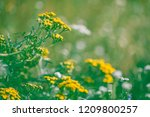 Flowers Hypericum (Hypericum perforatum or St. John