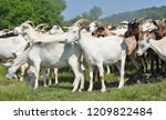 goats in the pasture of organic ... | Shutterstock . vector #1209822484