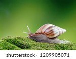Snail  Giant African Snail Or...