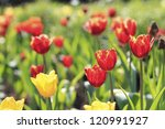 beautiful tulips field | Shutterstock . vector #120991927