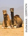 Camel At The Pushkar Fair  ...