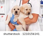 Stock photo cute labrador puppy dogs in the arms of veterinary healthcare professional getting ready for 1210156141
