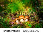Mushrooms In Forest Grass....