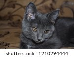 Stock photo cute grey kitty portrait grey kitten poster cute kitten looking kitten cute face 1210294444