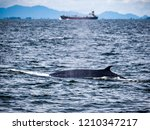 whale is swimming in the gulf...   Shutterstock . vector #1210347217