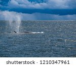 whale is swimming in the gulf...   Shutterstock . vector #1210347961