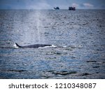 whale is swimming in the gulf...   Shutterstock . vector #1210348087
